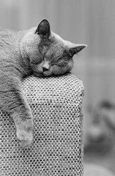 Cat nap ~ETS #chubs #gorgeouscreatures #kitties