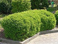 Heckenmyrthe 'Maigrün' Kleinwüchsige Heckenpflanze Wuchshöhe 80 - 100 cm Wuchsbreite 80 - 100 cm Standort Sonne bis Schatten Verwendung für Gruppengehölz, Bodendecker, Wallbepflanzung Wuchs niedrig, kompakt, sehr dicht