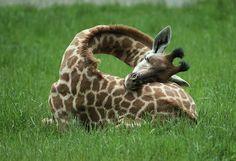 Así duermen las jirafas (vía @Txema Campillo en Twitter)