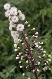 Petasites hybridus – Hortipedia