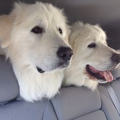 A tip for everyone who sees giant, white, fluffy dogs: You should probably avoid making these comments to Great Pyrenees owners. Pyrenees Puppies, Great Pyrenees Puppy, Dogs And Puppies, Doggies, Big Dogs, Large Dogs, I Love Dogs, Dog Photos, Dog Pictures