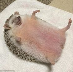 Cute hedgehog looks incredibly relaxed as it has its tummy tickled Baby Animals Super Cute, Super Cute Puppies, Cute Little Animals, Cute Funny Animals, Hedgehog Cage, Hedgehog Pet, Cute Hedgehog, Cute Lanyards, Cute Reptiles