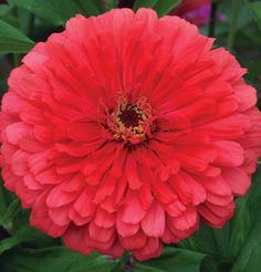 Gardening Composting David's Garden Seeds Flower Zinnia Giant Dahlia Flowered Coral (Pinkish) 100 Open Pollinated Seeds - Dahlia Flower, Flower Pots, Peach Flowers, Cut Flowers, Easy Garden, Lawn And Garden, Garden Fun, Garden Tips, Zinnia Elegans