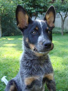 blue heeler pup!!