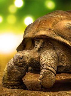 Galapagos Tortoise my favorite turtle species! Sulcata Tortoise, Tortoise Care, Giant Tortoise, Tortoise Turtle, Beautiful Creatures, Animals Beautiful, Cute Animals, Baby Animals, Reptiles And Amphibians