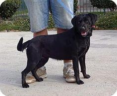 Lathrop, CA - Labrador Retriever Mix. Meet Bailee, a dog for adoption. http://www.adoptapet.com/pet/14628449-lathrop-california-labrador-retriever-mix