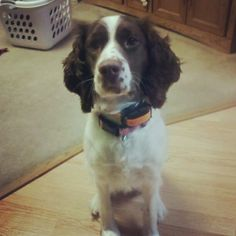 English Springer Spaniel -Skylar