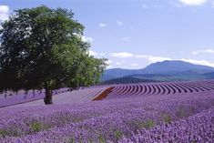 Australia's largest lavender farm opens its gates all year round to those with a passion for purple perfection. Bridestowe Lavender Estate is one of Tasmania's signature destinations, recognised for the spectacular view of its Lavender Garden, Lavender Fields, Lavender Flowers, Salvador, Land Of Oz, Country Landscaping, Wine Country, Places To See, Beautiful Places