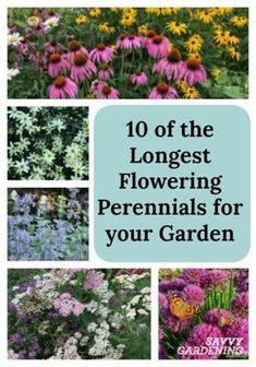 For non-stop color, plant the longest flowering perennials in your garden!