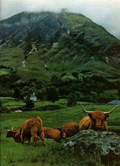 Highland cattle, Glencoe, Scottish Highlands