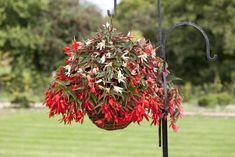 Begonia Plants - Bossa Nova Mix - Flowers for Hanging Baskets Flower Seeds, Flower Pots, Sutton Seeds, Perennial Flowering Plants, Plants For Hanging Baskets, Flower Pot Design, Diy Planters, All Flowers, Nature