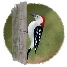Red Bellied Woodpecker bird Art Print by rubenacker on Etsy, $20.00