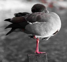 Foto: Nilgans  Schwarz-Weiß-Fotos, in denen bestimmte Details farbig hervorstechen. www.netzauge.de