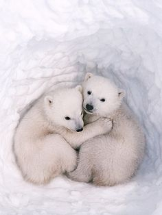 Awww! Polar bear cuddles!