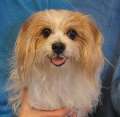 Clara is so enthusiastic to join you for a walk or activity that she may stamp her feet, overjoyed in anticipation.  She is a Maltese mix with a very pretty smile, about 6 years of age, a spayed girl, debuting for adoption this afternoon at Nevada SPCA (www.nevadaspca.org).  Clara is a social girl who enjoys people and dogs, and she is very eager to begin her new life!