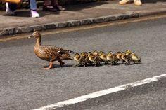 Vonulnak a kacsák - Nők Lapja Cafe