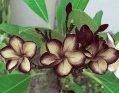 outdoor Plumeria cutting Rare Black Sugar by HeavenlyCuttings on Etsy