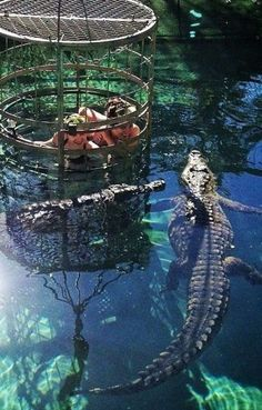 Cage Dive With Crocs in South Africa or Australia - Travel Bucket List Destinations You Have to Experience - Photos Oh The Places You'll Go, Places To Travel, Places To Visit, Dream Vacations, Vacation Spots, Adventure Is Out There, Adventure Travel, Destinations, Beautiful Places