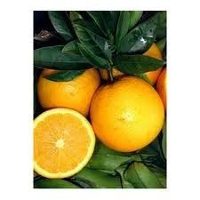 45 Year Old Dwarf Valencia Orange Tree in Growers Pot 3 Year Warranty >>> Learn more by visiting the image link.