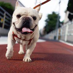 明日も晴れるかな #フレンチブルドッグ #フレブル #フレンチブル #frenchbulldog #frenchie #instafrenchie #doglover #bully #BullyInstaFeature #bullo #ブル男 #walk #smile
