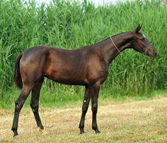Akhal teke stallion, Sergek...he looks like a speed bullet