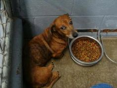 PLEASE HELP!  RESCUE IN KENTUCKY NEEDED! Shelby is a senior Dachshund. She is absolutely terrified here. She cowers in her cage & if we put her on a leash, she thrashes & cries out in fear! The people that brought her in said that they found her about a month ago and didn't even look for the owners but can not keep her now. We are so sorry her owners were not even given the opportunity to find her! This is horrible.   Owensboro, Ky Daviess County Shelter @ 270-685-8275 or…