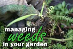 How to Pull Weeds. Pulling weeds is an everyday activity for most gardeners. You can try all kinds of things to prevent weeds from cropping up such as mulching or using cover crops. In the end, you will end up having to pull weeds from. Control Techniques, Organic Weed Control, Squash Bugs, Bed Bugs Treatment, Pulling Weeds, Pest Solutions, Garden Pests, Winter Garden, Pest Control