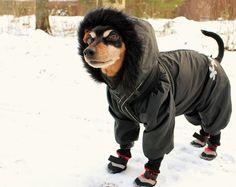 Min pin Ulpu is ready for a winter walk