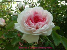 """rosa blairii no 2 Beau rosier à fleurs en coupes profondes, de type """"roses anciennes"""", rose foncé au centre, plus pâle sur le pourtour, formant de belles inflorescences. Une bonne floraison - quelques fleurs par la suite. Taille minimale. 4,5m. (Blair 1845)."""