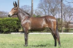 Conformation-wise, I think I'd choose this mule over a lot of horses in my history. This is a VERY pretty boy!