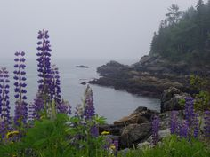 Lupines on the Maine coast. We went to Maine on our honeymoon, and this picture reminds me very well of some of the gorgeous scenery we saw there.  Hope to go back someday!