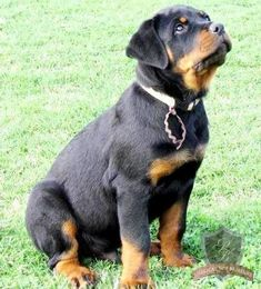 Rottweiler puppy.... In 3 years.... I cant not wait.. I miss my Boy soooooo much... its going to be so hard to find one as Good as Max, but oh makes me wanna cry..... #rottweiler puppy.... In 3 years.... I cant not wait.. I miss my Boy soooooo much... its going to be so hard to find one as Good as Max, but oh makes me wanna cry......