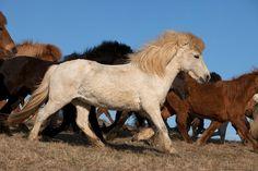 A Herd of Icelandic Horses ~ Iceland
