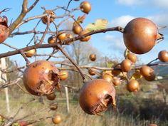 Fruchtleder wird aus pürierten Mispeln hergestellt und ist im Vergleich die noch gesündere Nascherei.