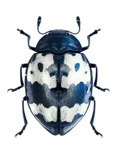 A beautiful Barytopus surinamensis, Navy blue, black and white beetle. Cool Insects, Flying Insects, Bugs And Insects, Beetle Insect, Beetle Bug, Insect Art, A Bug's Life, Wild Life, Land Art