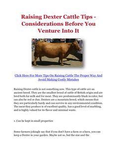 Raising Dexter Cattle Tips - Considerations Before You Venture Into It by howtoraisecattle via slideshare Miniature Cow Breeds, Miniature Cattle, Mini Cows, Mini Farm, Types Of Cows, Dexter Cattle, Raising Cattle, Livestock Farming, Dexter