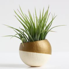 Gold Air Plant Pot with Air Plant