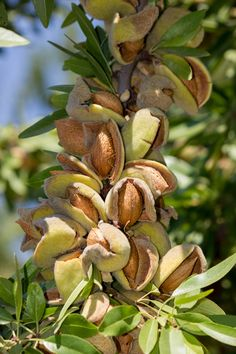 Very late blooming and early ripening, Oracle ™ Almond Tree bears abundant crops of large, sweet, semi-hardshell nuts. Plant with Bounty for large crops Fruit Plants, Fruit Garden, Dwarf Fruit Trees, Fruit And Veg, Fruits And Vegetables, California Almonds, Early Spring Flowers, Planting Shrubs, Fruit Photography