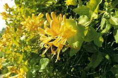 Wiciokrzew Tellmana lubi rozproszone światło słoneczne. Kwitnie w czerwcu i lipcu. Należy dopilnować, by podłoże w pojemniku było żyzne i wilgotne. Roślina źle znosi przesuszenie.