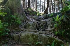 Western red cedar roots twining around rocks along the trail. Nature's perfection in Minnekhada Regional Park.