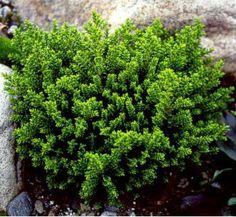 Hébé, Véronique arbustive 'Emerald Green' Hebe Persistant, -7°C