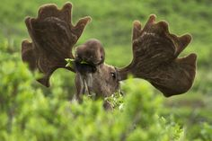 moose eating leaves