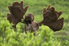 moose eating leaves