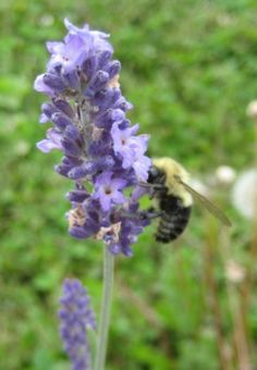 2012 Year of The Herbs - Top 10 Herb Recommendations: Lavender