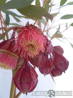 EUCALYPTUS KINGSMILLII - big beautiful deep red and coral pink tassel blossoms on this native Australian flowering gum aka Kingsmill mallee. Australian Wildflowers, Australian Native Flowers, Australian Plants, Rosa Coral, Coral Pink, Tropical Flowers, Growing Flowers, Planting Flowers, Bush Garden