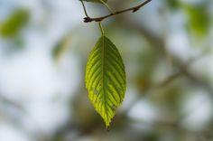 のんくり日和: 木として育てるバラ、草として育てるバラ    (via http://non-kuri.blogspot.com/2012/10/blog-post_31.html )