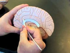 (34) Brain Model - YouTube