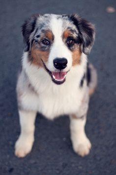 australian shepherd puppy! let me have one
