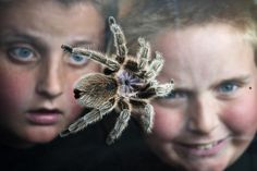 """Kate Wyatt-Burrows took a head-on approach to helping her son Wyatt conquer his severe fear of spiders in 2008: She bought him a tarantula. Nearly five years later, Fifi is a beloved family pet, and Wyatt (right), 10, and brother Raymond, 12, are very proud arachnid fans.  """"We read up and learned as much as we could about spiders,"""" Kate says. """"The journey of fear conquering ended up in purchasing a rose-haired tarantula for Wyatt's 6th birthday. We don't know the sex, so we called it a …"""
