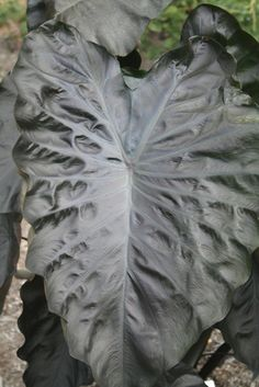 The elephant ear of all elephant ears: Colocasia esculenta 'Black Coral' PPAF (Black Coral Perennial Elephant Ear)